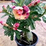Adenium【富贵花】