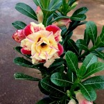 Adenium with Mixed Colour Flowers » Flowering Plants