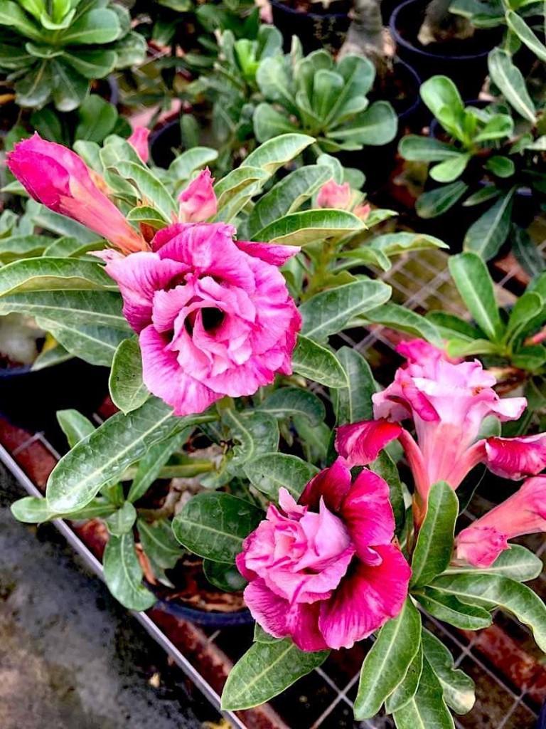 Adenium with Pink Flowers » Flowering Plants