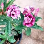 Adenium with Purple Flowers » Flowering Plants