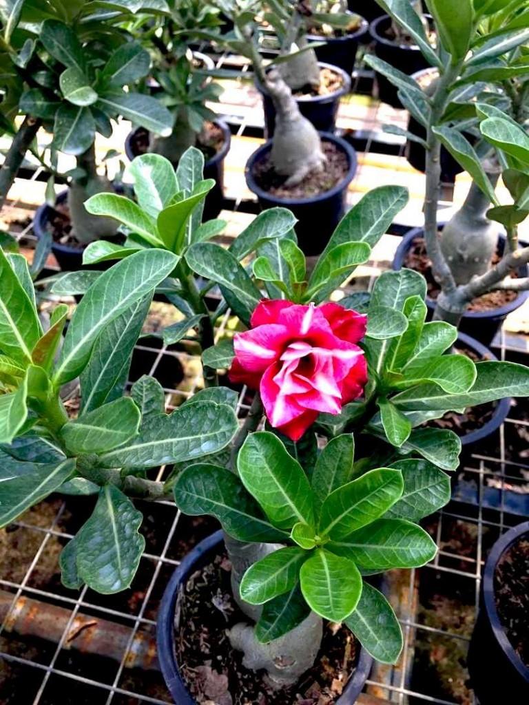 Adenium with Red Flowers » Flowering Plants