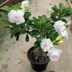 Adenium with White Flowers » Flowering Plants