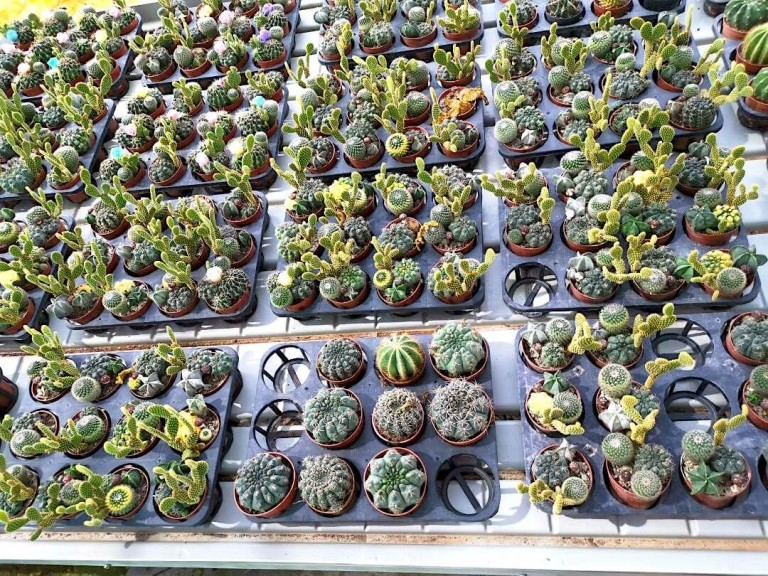 Cactus » Foliage