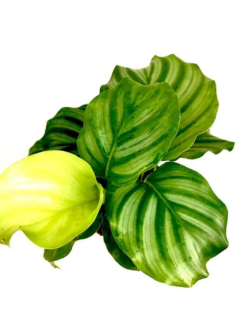 Calathea Orbifolia » Foliage