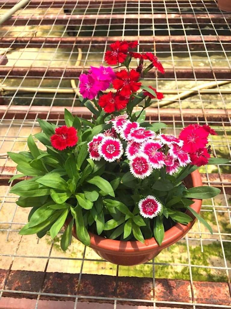 Dianthus » Flowering Plants