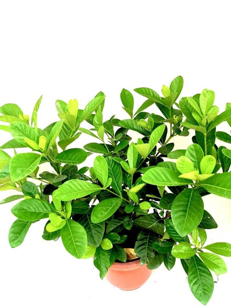 Gardenia » Flowering Plants