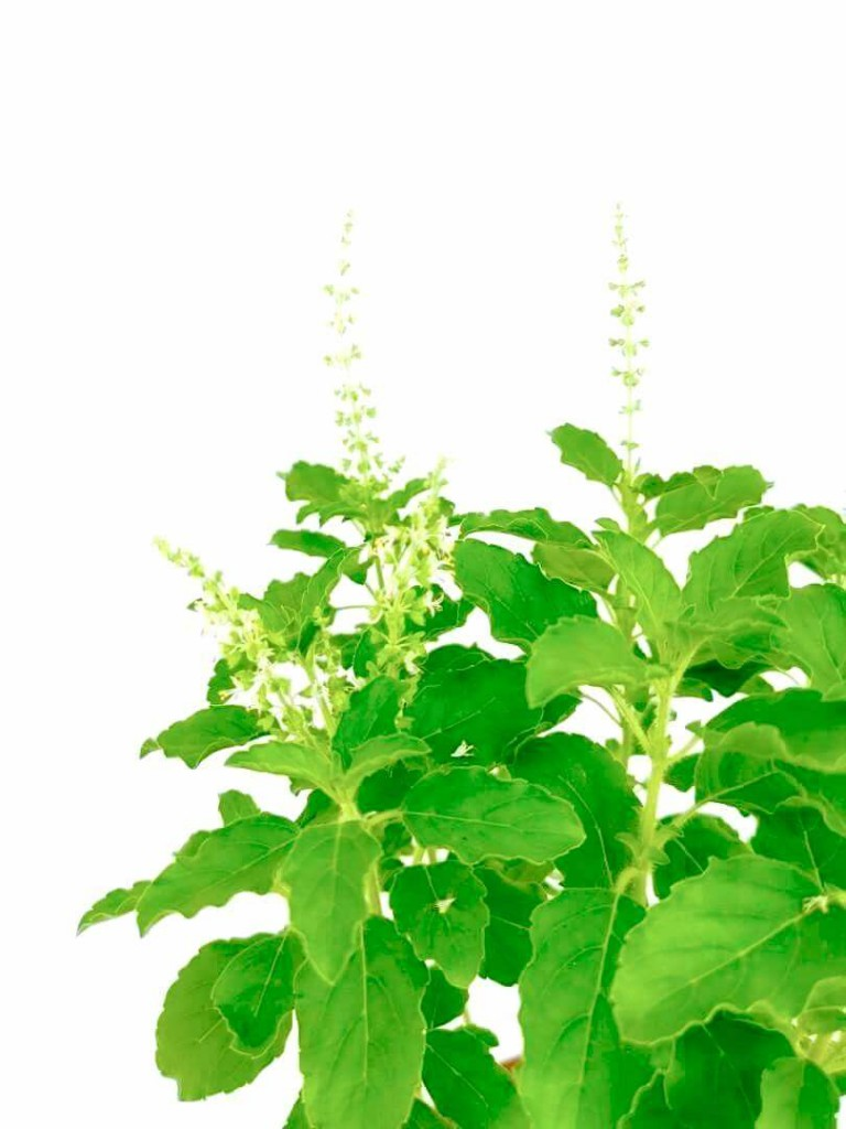 Holy Basil (Thulasi) Flowers » Herbs 'n' Spices