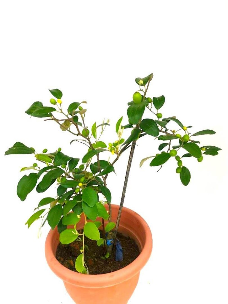 Jujube » Fruit Trees