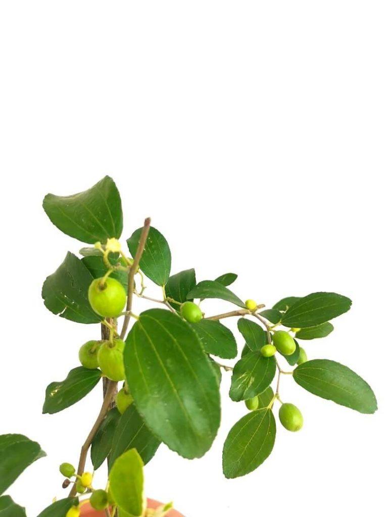 Jujube Fruits » Fruit Trees