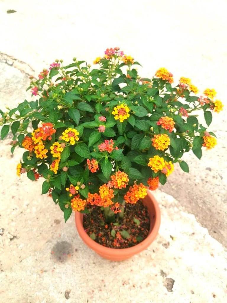 Lantana Bonsai » Flowering Plants