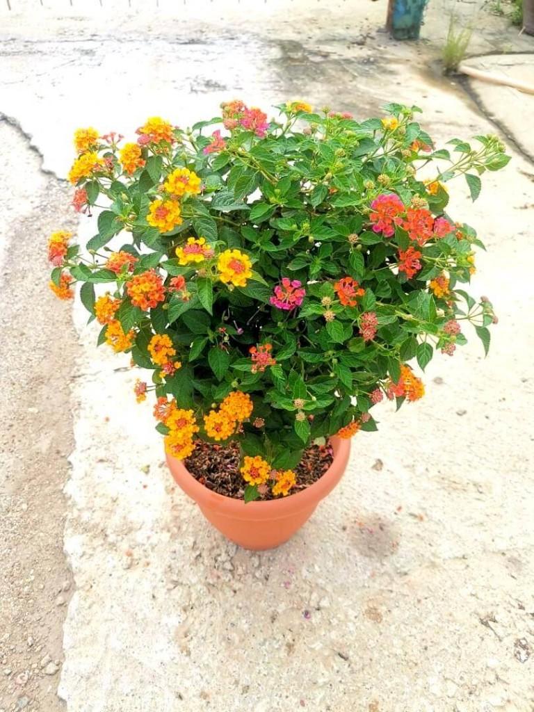 Lantana Bonsai / Lantana Camara » Flowering Plants