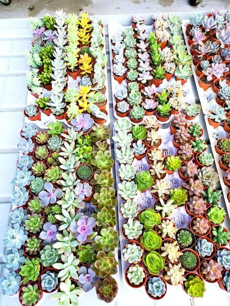 Mini Succulents » Foliage
