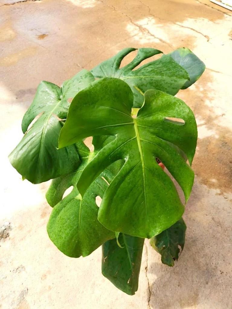 Monstera Deliciosa » Foliage