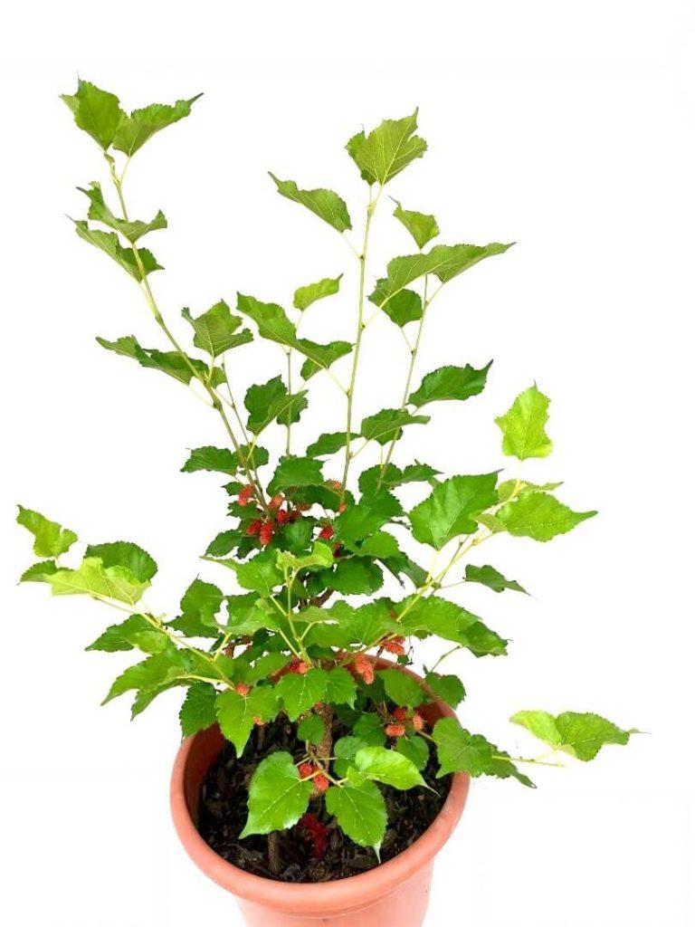 Mulberry Plant » Fruit Tree