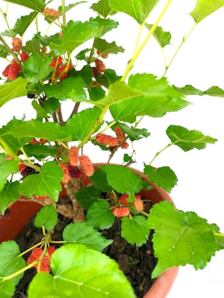 Mulberry Fruits » Fruit Tree