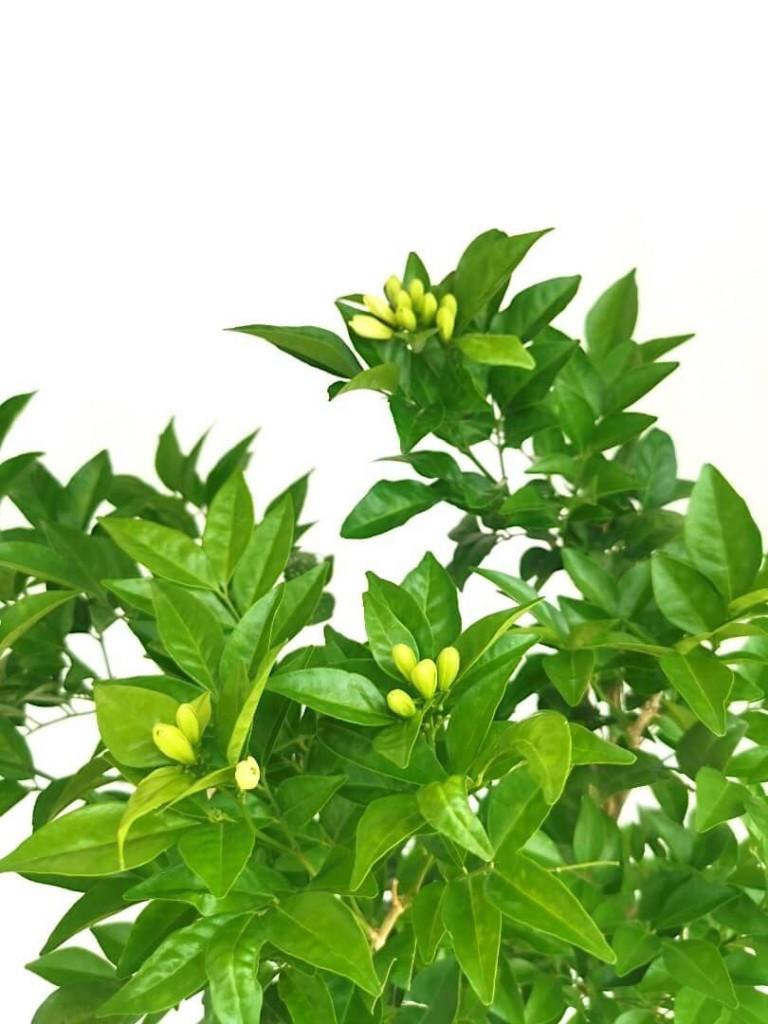 Murraya » Flowering Plants