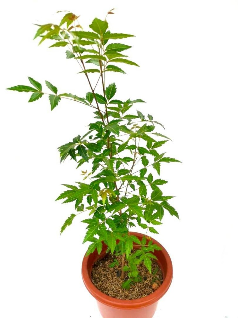 Neem Plant » Herbs 'n' Spices