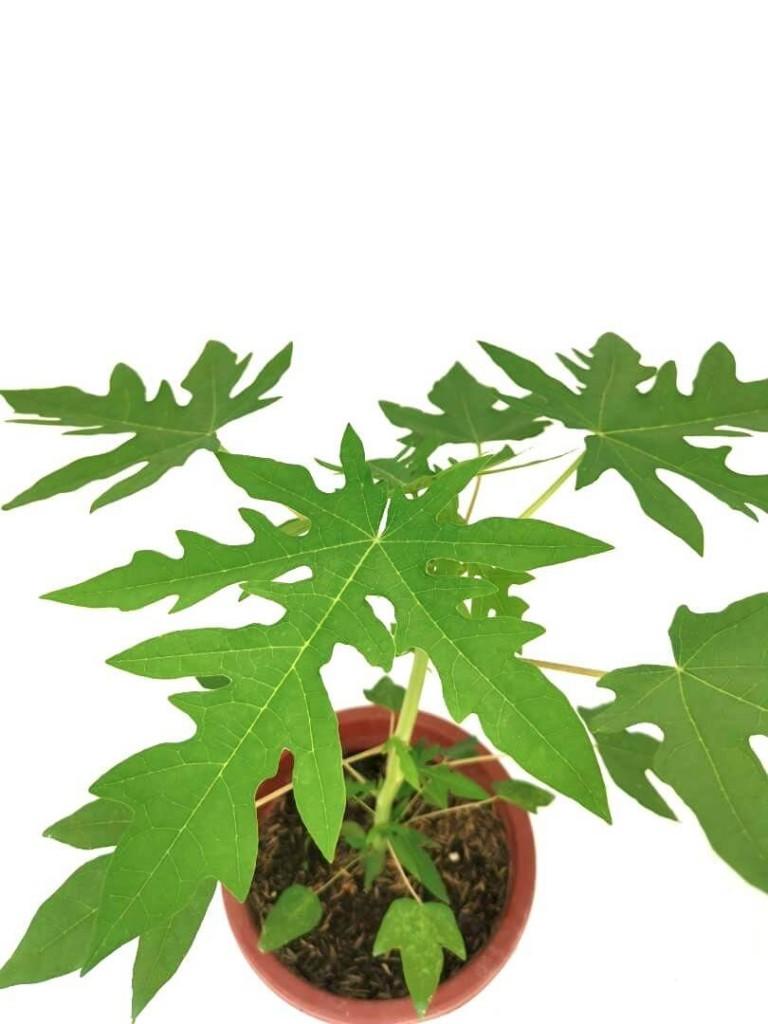 Papaya » Fruit Trees