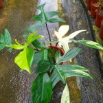 Philodendron Florida Beauty Variegated