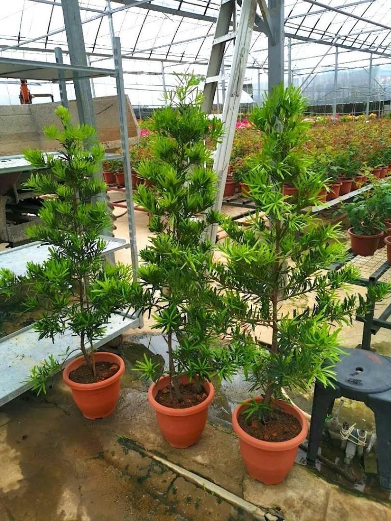 Podocarpus » Foliage
