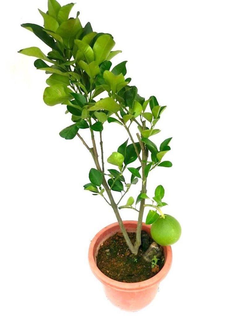 Pomelo Plant » Fruit Trees