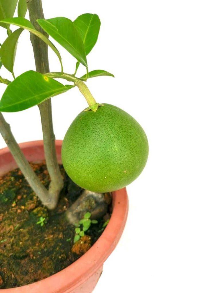 Pomelo Fruit » Fruit Trees