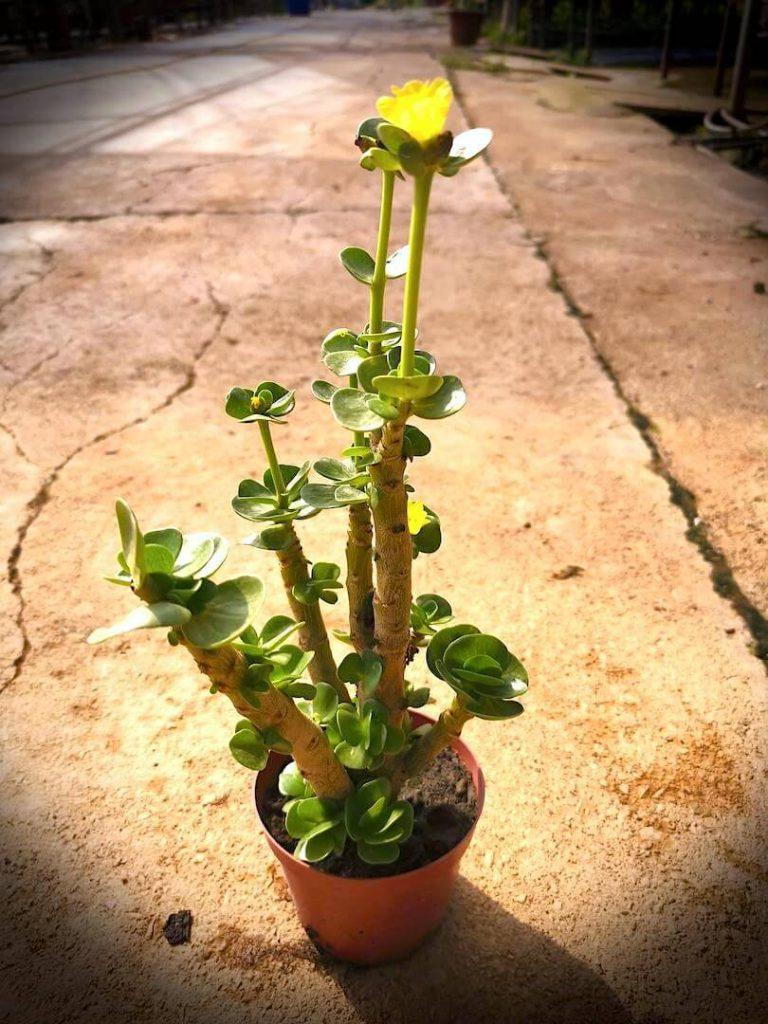 Portulaca Molokiniensis » Foliage