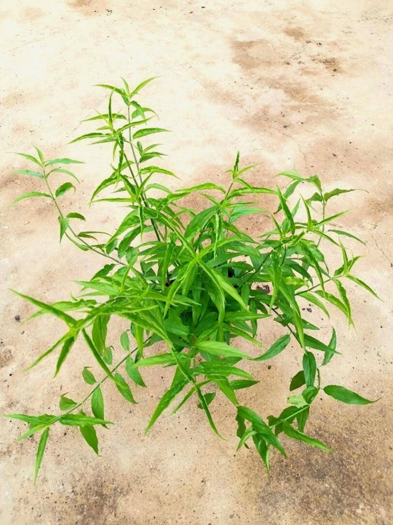 Sabah Snake Grass » Herbs 'n' Spices