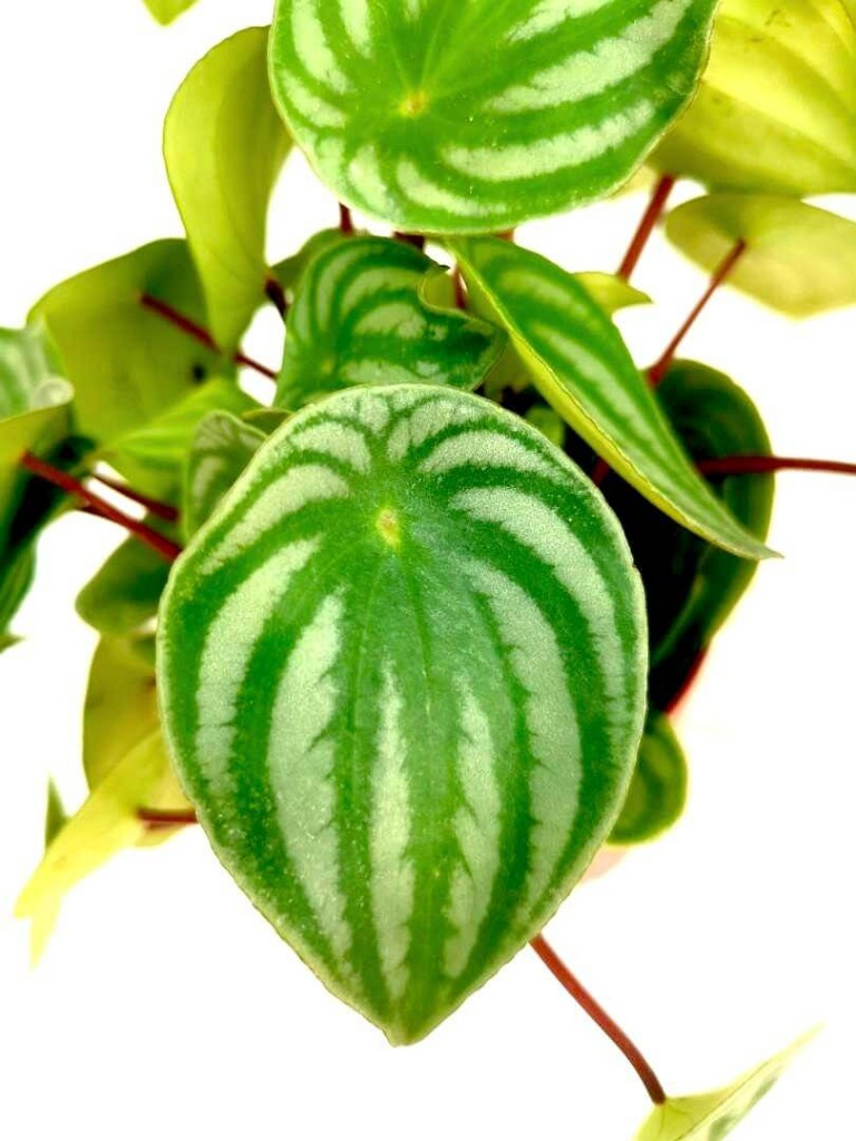 Watermelon Peperomia » Foliage