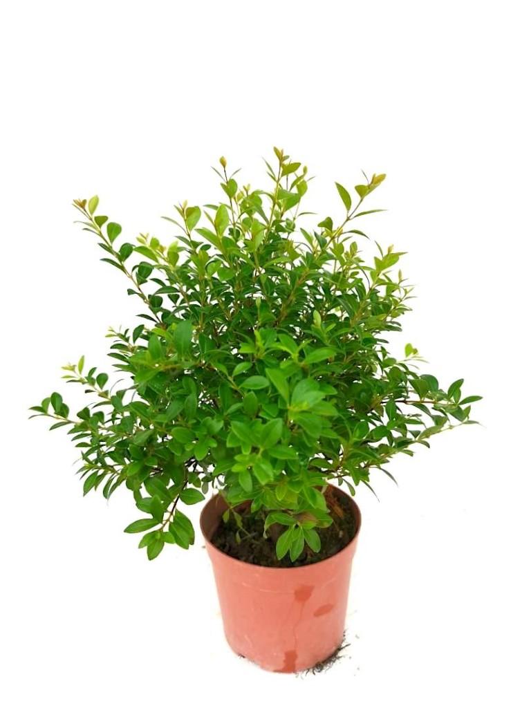Willow Plant » Foliage