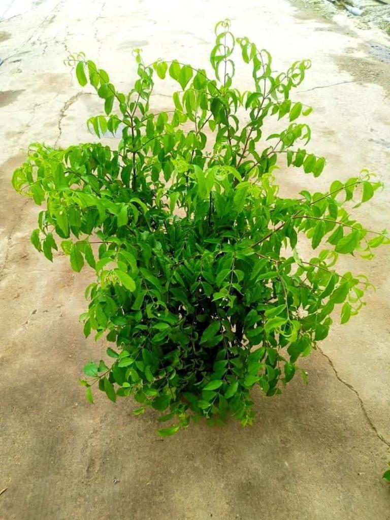 Wrightia » Flowering Plants