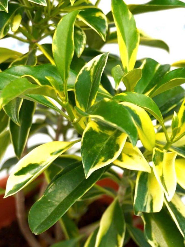 African Jasmine Variegated » Exotic Foliage