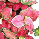 Red Aglaonema