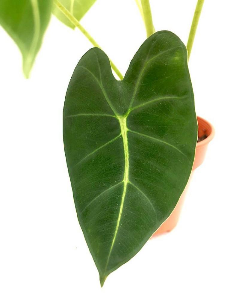 Alocasia Frydek » Foliage