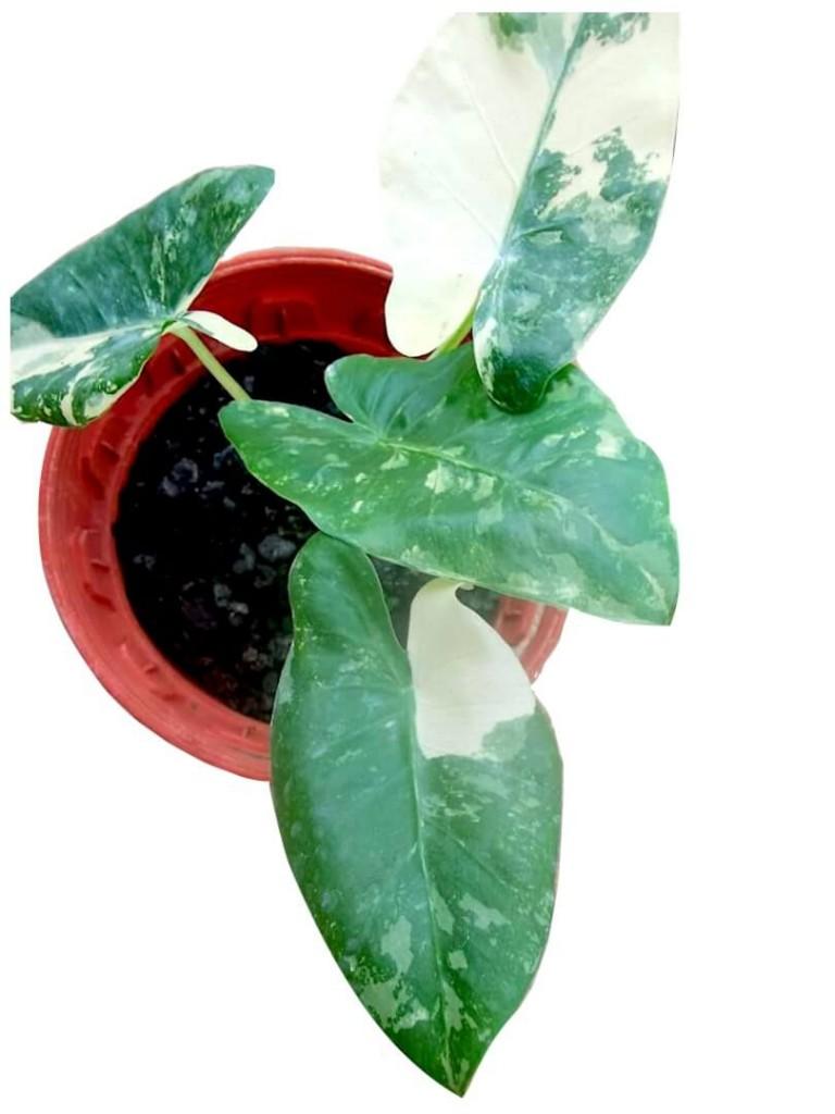 Alocasia Macrorrhiza Variegated » Foliage