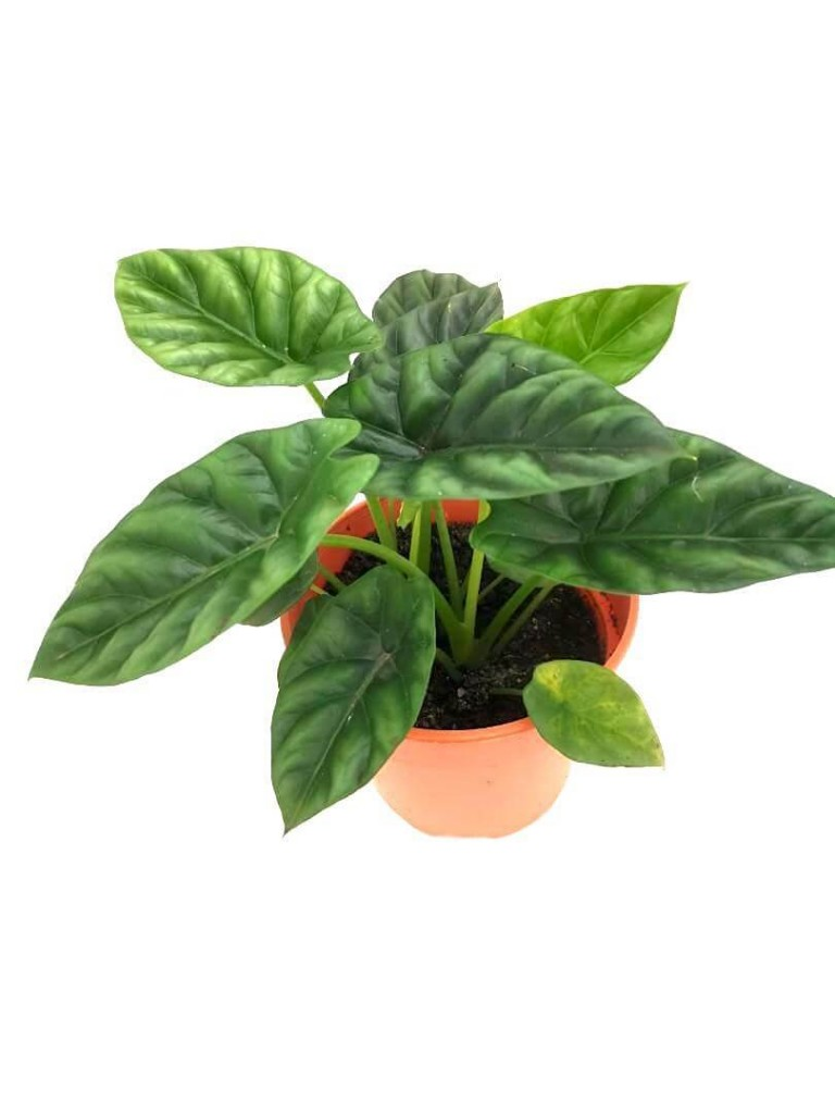 Alocasia Sinuata » Foliage