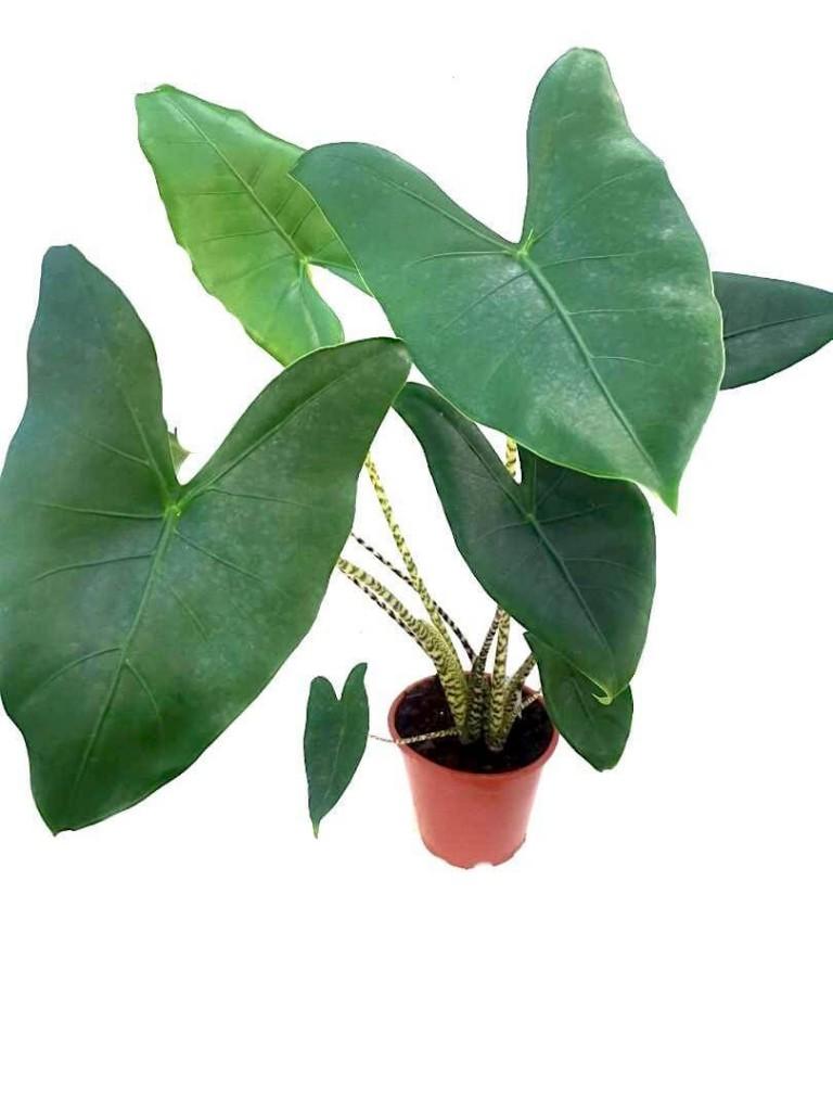 Alocasia Zebrina » Foliage