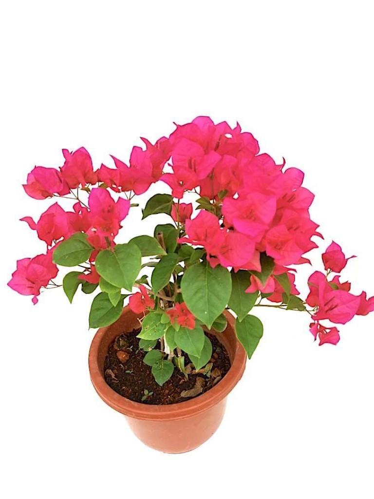 Bougainvillea with Dark Pink Flowers - 24 cm (D) Pot » Flowering Plants
