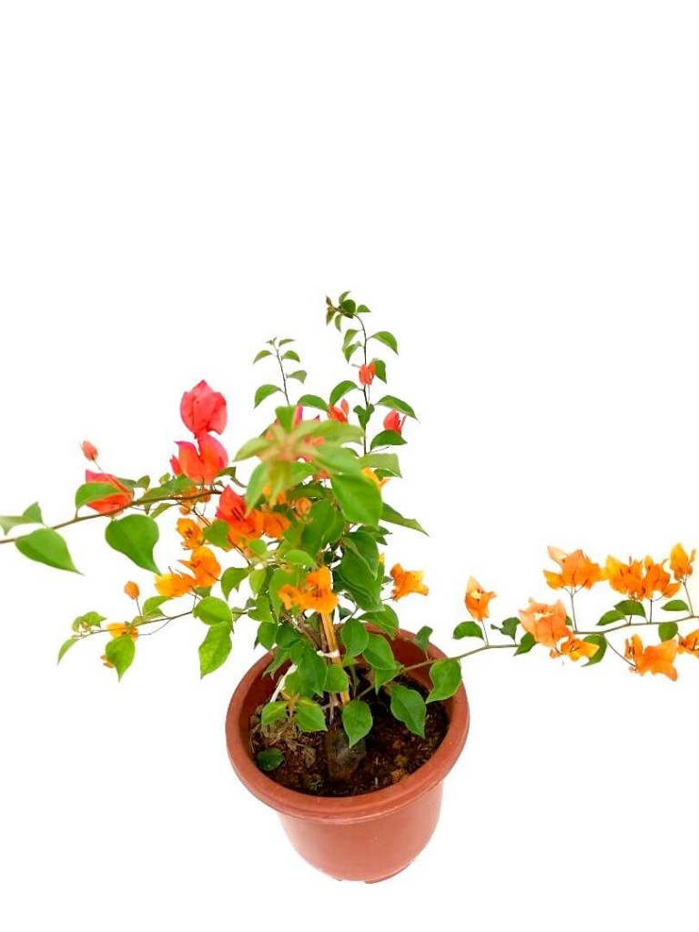 Bougainvillea with Mixed Colour Flowers - 24 cm (D) Pot » Flowering Plants