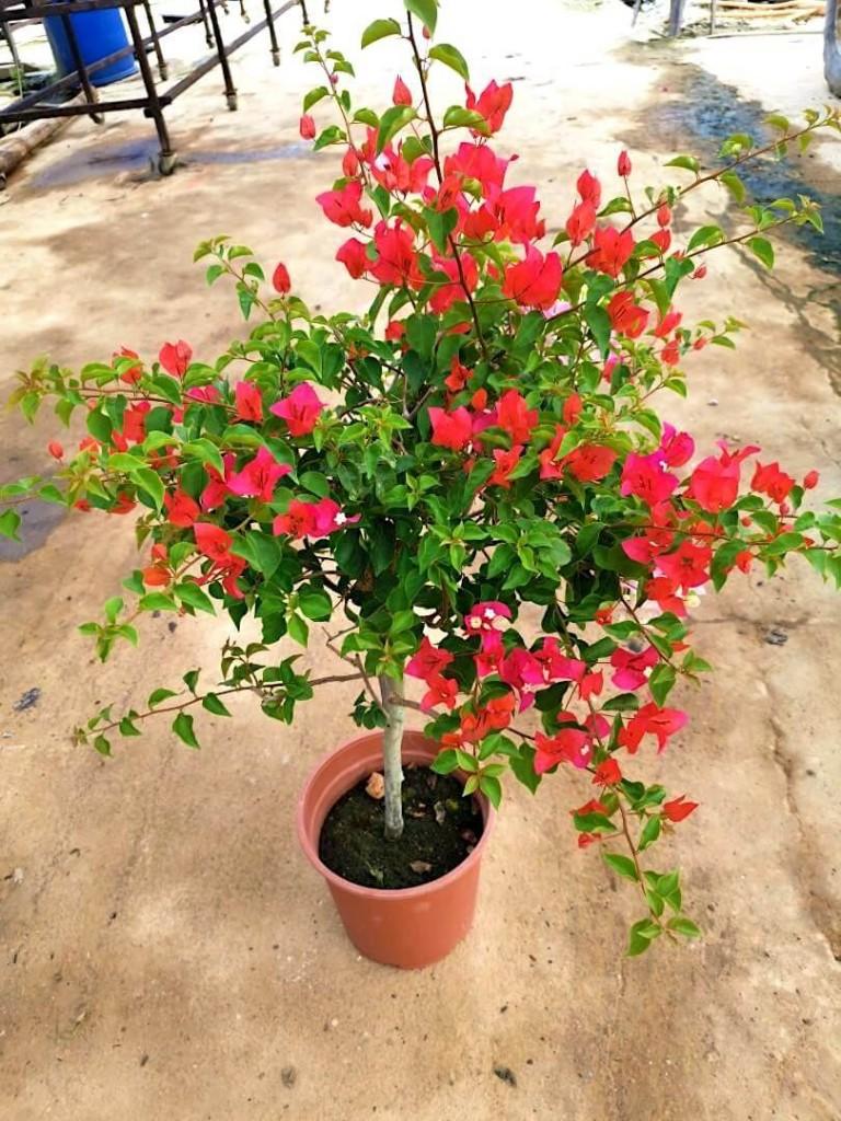 Bougainvillea with Red Flowers - 26 cm (D) Pot » Flowering Plants
