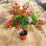 Bougainvillea with Mixed Colour Flowers - 26 cm (D) Pot » Flowering Plants