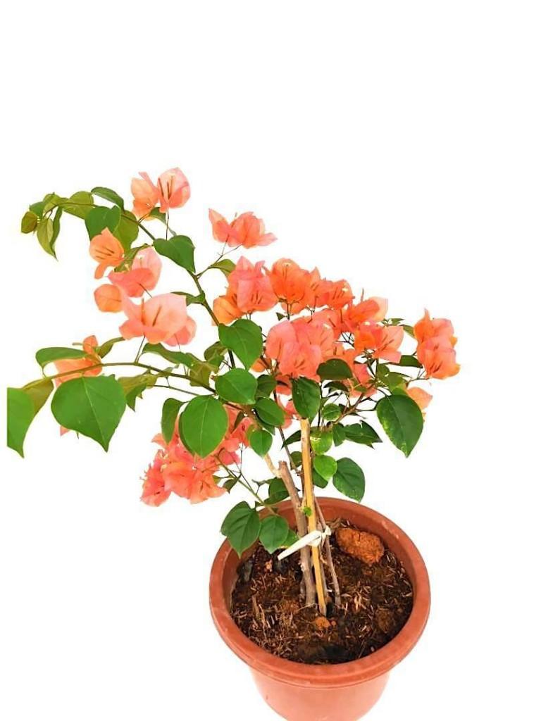 Bougainvillea with Salmon Colour Flowers - 24 cm (D) Pot » Flowering Plants