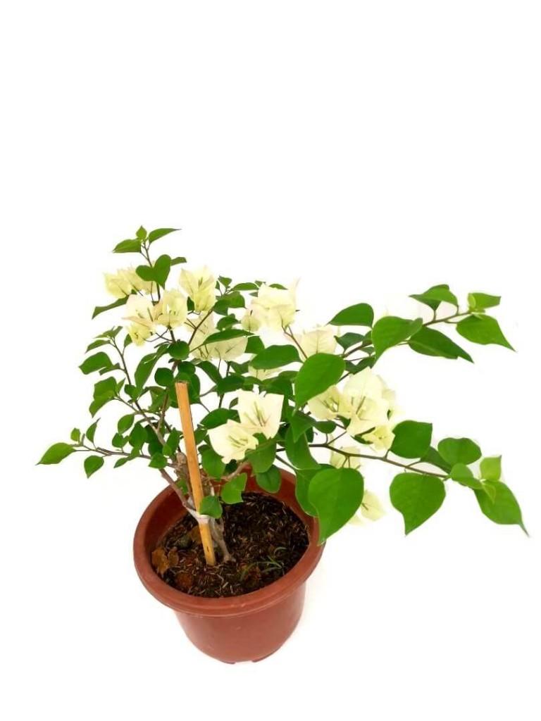 Bougainvillea with Off-White Colour Flowers - 24 cm (D) Pot » Flowering Plants