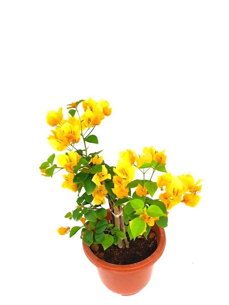 Bougainvillea with Yellow Flowers - 24 cm (D) Pot » Flowering Plants