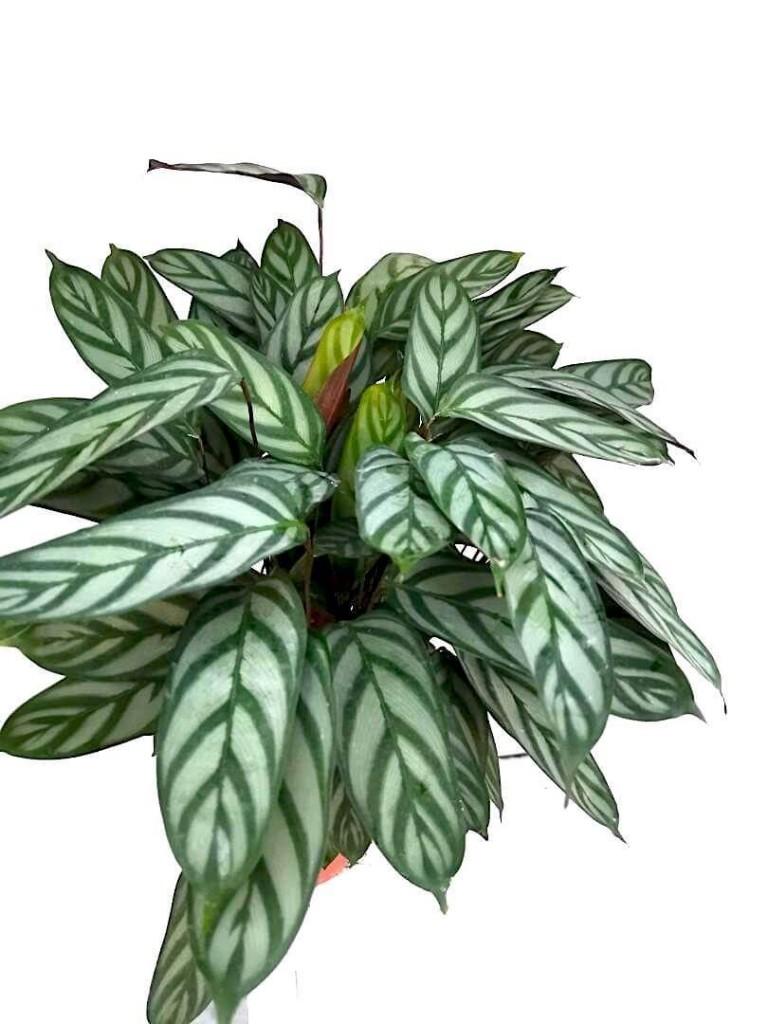 Calathea Compact Star / Ctenanthe Setosa 'Grey Star' » Foliage