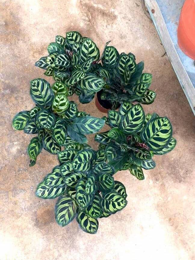 Calathea Makoyana (Peacock Plant) » Foliage