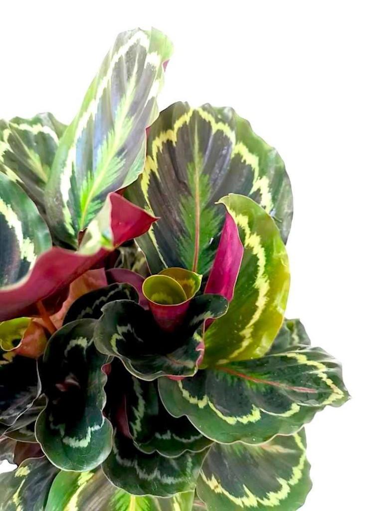 Calathea Medallion » Foliage