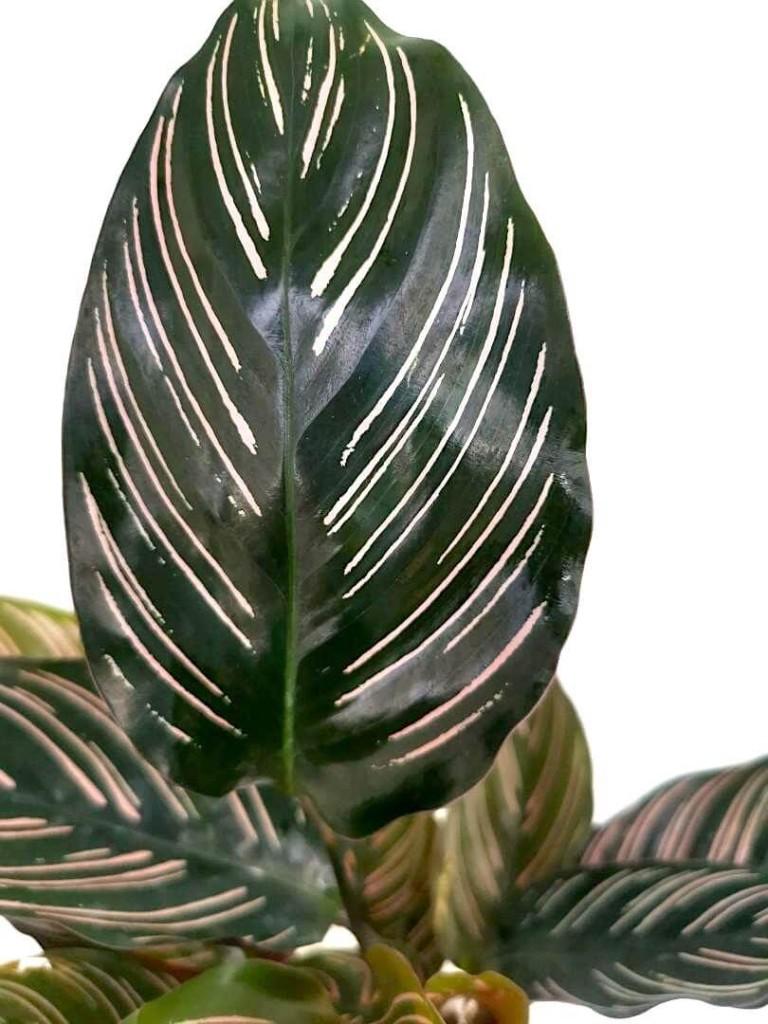 Calathea Ornata (Pinstripe Plant) » Foliage