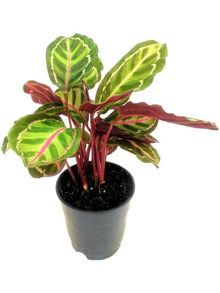 Calathea Roseopicta Cora » Foliage