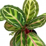 Calathea Roseopicta 'Cora'